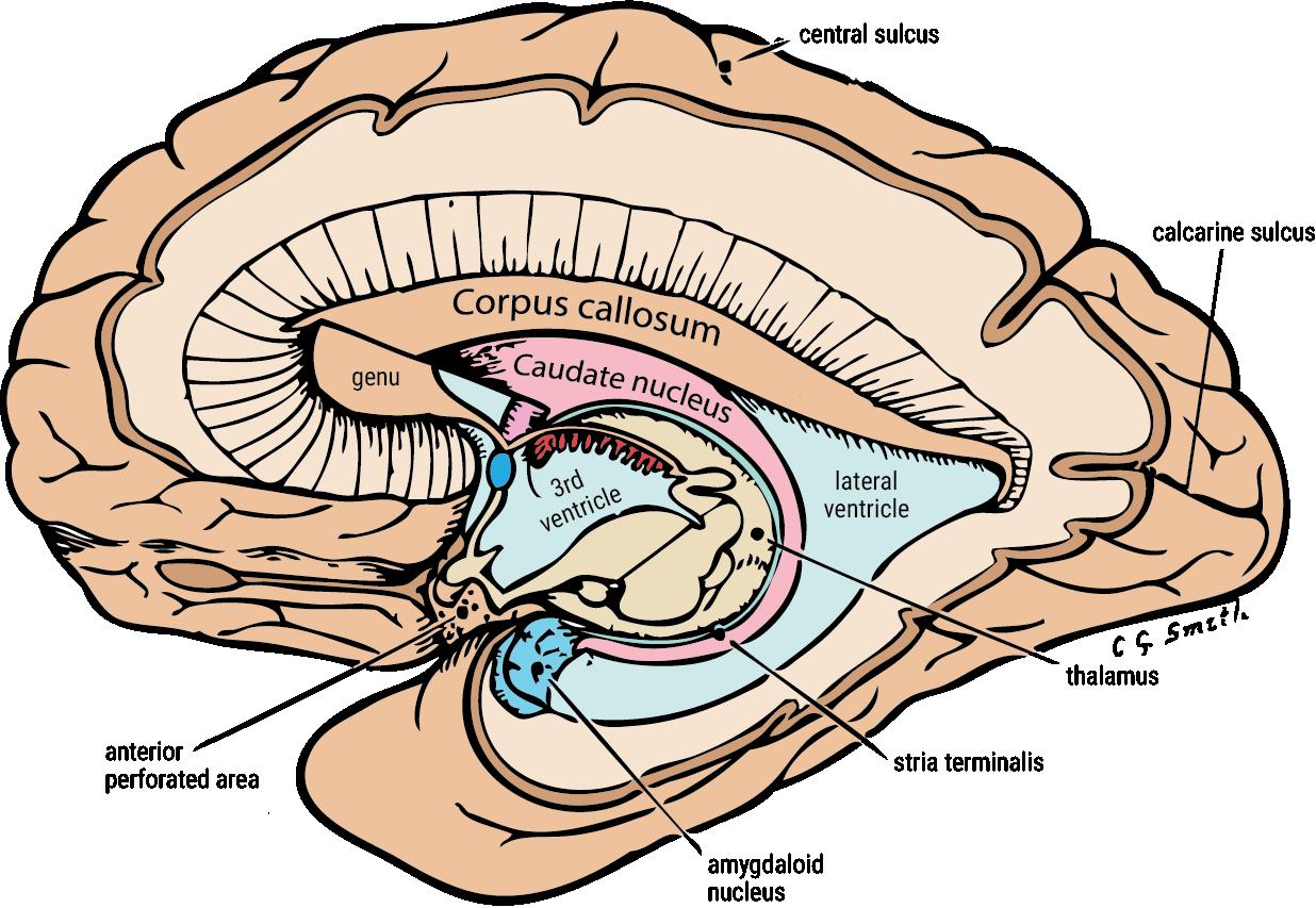 Thalamus & Diencephalon